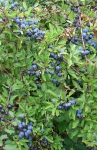 Prunus spinosa bessen