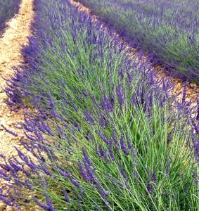 Lavendel 5463